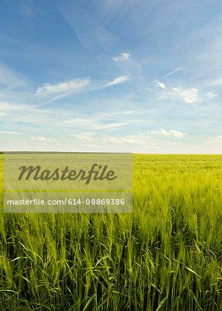 Field of tall grass under blue sky