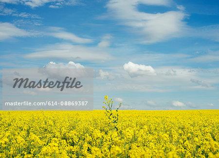 Yellow flower in field under blue sky