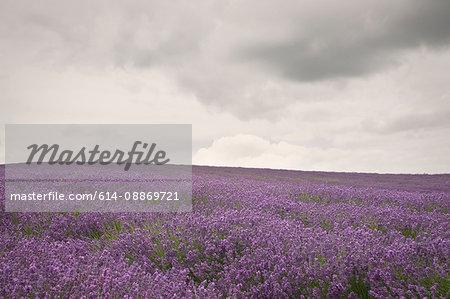 Field of purple flowers under cloudy sky