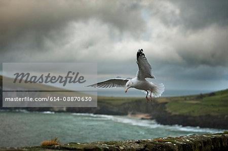 Seagull landing on rock wall
