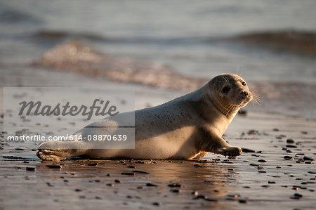Grey seal laying on beach