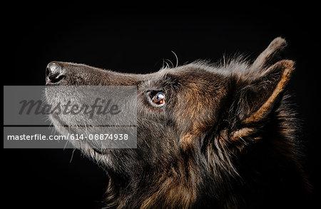 Studio portrait of alsatian dog looking up