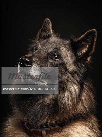 Close up studio portrait of alsatian dog