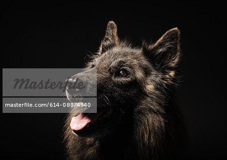 Studio portrait of alsatian dog with tongue out