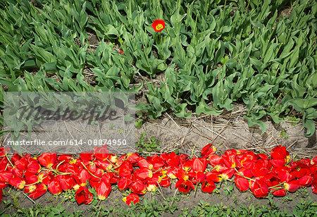 Discarded cut tulips, Egmond, Netherlands