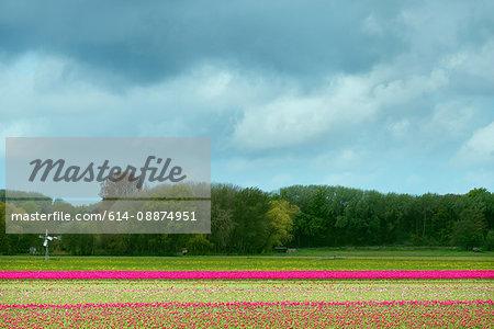 Pink tulip fields, Egmond, Netherlands