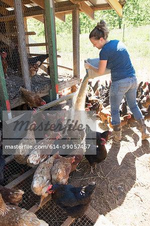 Woman feeding free range golden comet and black star hens on organic farm