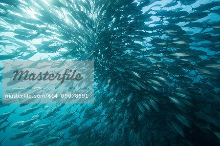Underwater view of swimming jack fish shoal in blue sea, Baja California, Mexico