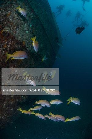 Fish at sunken ship Fang Ming artificial reef, La Paz, Baja California Sur, Mexico