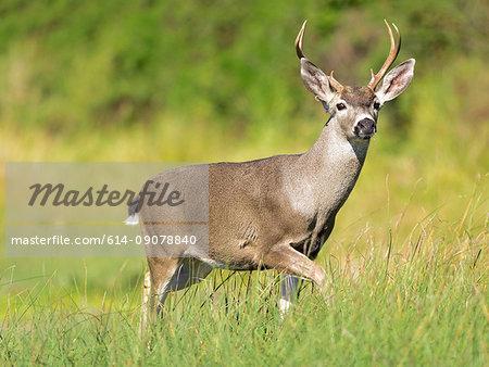 Mule deer buck (Odocoileus hemionus) in grassland, Point Reyes National Seashore, California, USA