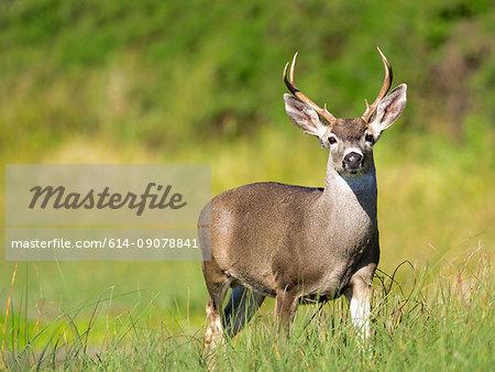 Portrait of mule deer buck (Odocoileus hemionus) in grassland, Point Reyes National Seashore, California, USA