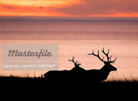 Silhouetted tule elk bucks (Cervus canadensis nannodes) on coast at sunset, Point Reyes National Seashore, California, USA