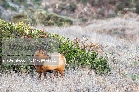Tule elk buck (Cervus canadensis nannodes) looking back in long grass, Point Reyes National Seashore, California, USA