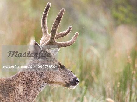 Mule deer buck (Odocoileus hemionus) in long grass, Point Reyes National Seashore, California, USA