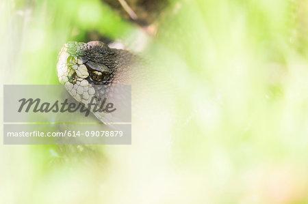 Northern pacific rattlesnake (Crotalus oreganus), close-up, San Francisco, California, United States, North America