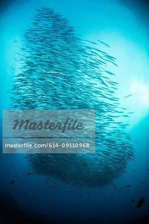 School of barracuda fish, Seymour, Galapagos, Ecuador, South America