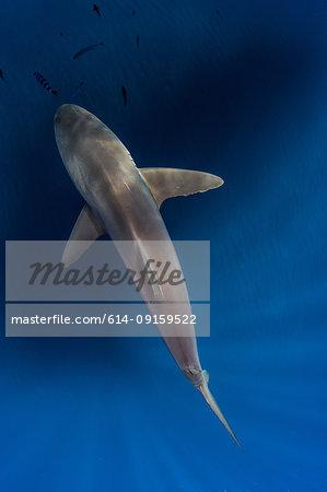 Silky shark in blue water, Revillagigedo, Tamaulipas, Mexico