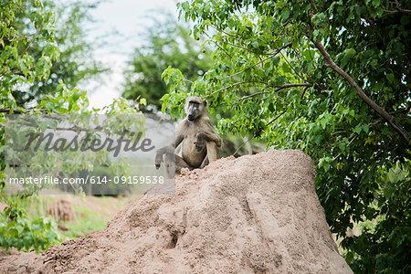 Baboon on mud heap, Chobe National Park, Botswana