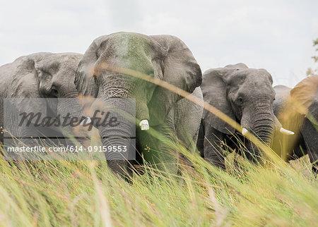 Elephants in tall grass, Okavango Delta, Botswana