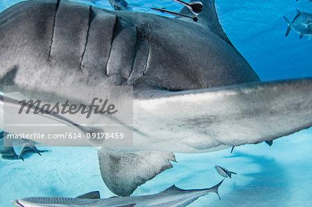 Great hammerhead shark, other fish in background, Alice Town, Bimini, Bahamas