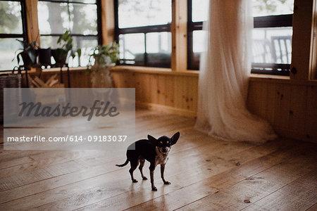 Cute dog standing on living room floorboards, portrait