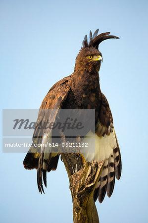 Long-crested Eagle (Lophaetus occipitalis), Lake Nakuru National Park, Kenya, Africa