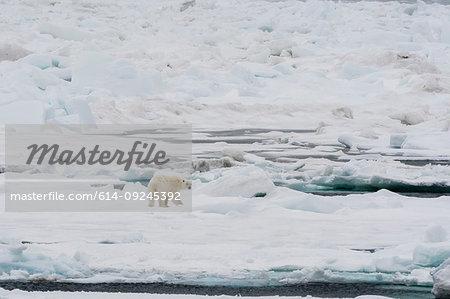 Polar bear (Ursus maritimus) on pack ice, Murchinson Bay, Murchisonfjorden, Nordaustlandet, Svalbard, Norway