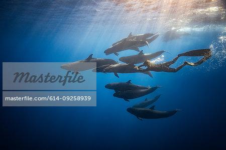 Man free diving with False killer whales, Revillagigedo Islands, Socorro, Baja California, Mexico