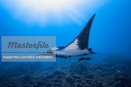 Giant Oceanic manta ray, Revillagigedo Islands, Socorro, Baja California, Mexico