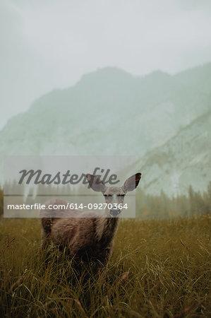 Deer in nature reserve, Yosemite National Park, California, United States