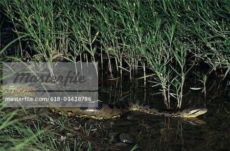 Green Anaconda Eunectes Murinus World S Largest Snake South
