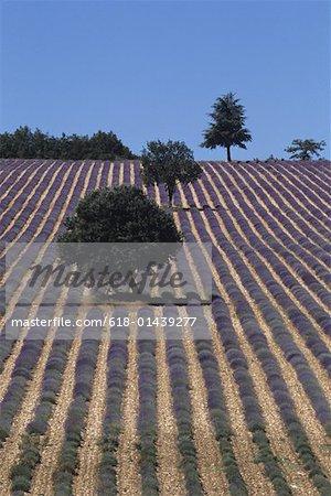 Lavendar fields, Provence, France