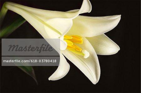 Easter lily flower on black background.
