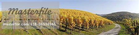 vineyard in autumn, Saar Valley, Germany