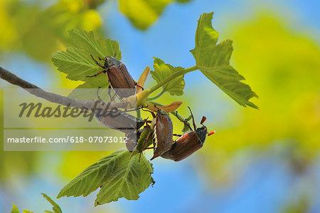 May bug, Cockchafer