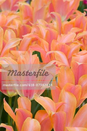 Grouping of Tulips in the gardens of Keukenhof