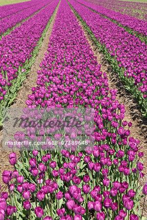 neat rows of purple tulips in a field