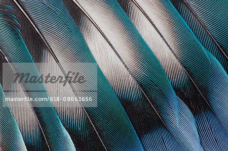 Lovebird Tail Feather Design