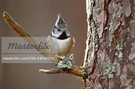 European crested tit (Lophophanes cristatus)