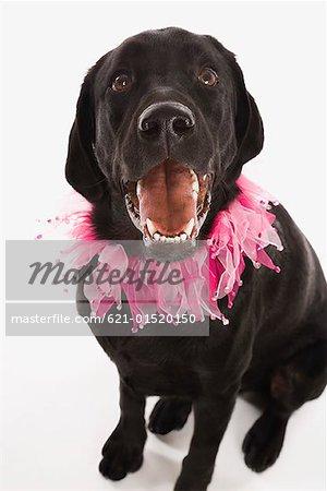 Black Labrador Retriever with pink ruffled collar