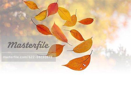 Floating Autumn Leaves, Mid-Air