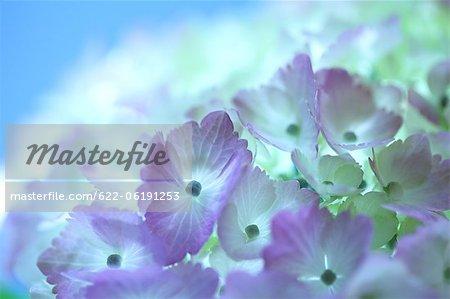 Close-Up View Blue Hydrangea Flowers