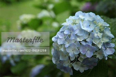 Blue Hydrangea Flowers In Garden