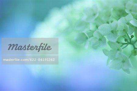 White Hydrangea Flowers With Blur Background
