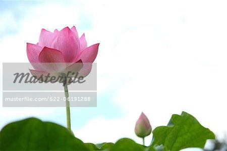 Fresh Lotus Flower