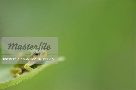 Tree Frog, Blur