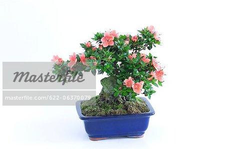 Mini bonsai of Azalea