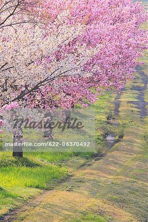 Cherry trees along Koayukai river in Shirataka town, Yamagata Prefecture
