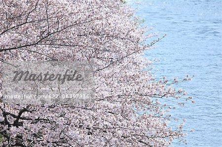 Cherry blossoms at Okawa river, Osaka