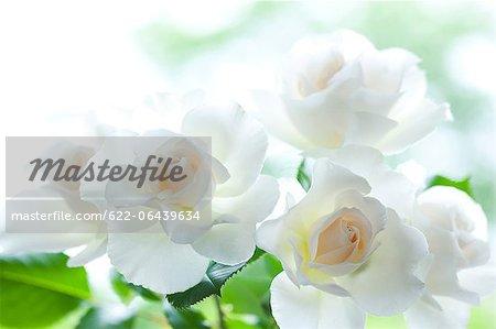 Margaret Merril white roses